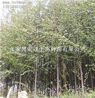Zhangjiajie authentic Cercidiphyllum Wholesale