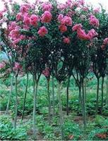 Supply from 0.6 to 1.5 cm thick crape myrtle seedlings 2-5 cm thick crape myrtle planting seedlings