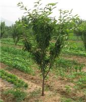 Supply the red cherry seedling early the fruit cherry seedlings cherry seedlings cherry seedlings prices