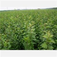 Supply Shandong chestnut seedlings of o.5 to the 5 cm thick chestnut seedlings