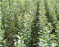To supply the apple seedlings Red Star apple seedlings Red General apple seedlings Gala apple seedlings