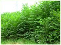 Supply toon seedlings marked oil toon seedlings Taishan red cedar seedlings