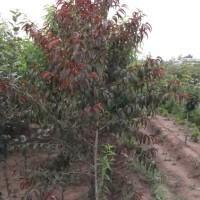 Supply of 0.8 cm thick red leaves Betau Hongye Betau seedlings 2-5 cm thick planting seedlings
