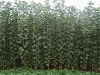 Supply 107 Young saplings of poplar cuttings seedlings 1-2 cm thick 107 Young saplings