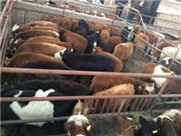 山西肉牛價格