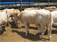 利木贊牛育肥一年長多重山東現達牧業養殖場