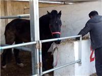 蒙古馬 伊犁馬 價格一匹 騰翔牧業