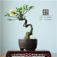 精品提根栀子花盆景树桩造型艺术观花观茎盆栽 一物一拍