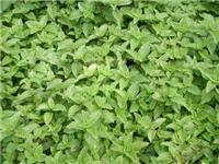 供应仙草香精;优质食品添加剂香精香料