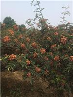 无刺花椒苗,狮子头花椒苗,大红袍种子,哪里有卖