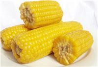 东北农家自产高品质玉米厂家直销 大型玉米批发种植基地