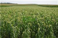 近鸟龙农业/有机小米/葫芦岛有机小米供应商