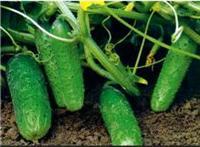 宁安厂家水果黄瓜种子 口感佳 宁安产地直销迷你香甜水果黄瓜 绿色食品