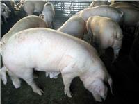黑龙江优质大白猪批发供应