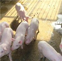 吴忠齐全的山东仔猪多少钱一头 山东哪里仔猪品种好