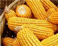 密山玉米长期供货厂家 无添加特级玉米出售 品质保障