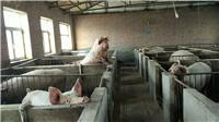 黑龙江大庆市优质肉猪供应销售_黑龙江大庆优质三元猪供应