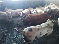 双鸭山养殖基地批发生猪 合作社大量供应优质生猪