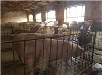 桦南县养猪专业合作社 优质品种生猪常年供应