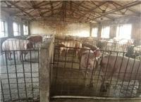 桦南县批发正宗生猪 农家肉猪生猪价格 肉质好