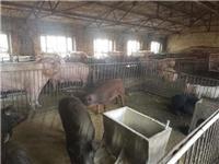 佳木斯桦南县优质品种生猪供应 专业生猪养殖技术