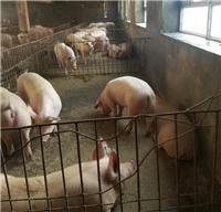 桦南县养猪场常年出售优良品种生猪 今年生猪价格