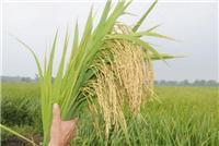 密山市无添加水稻销售厂家
