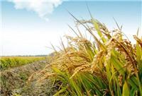 黑龙江密山市专业绿色水稻种植销售