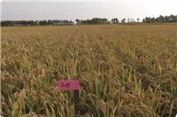 龙优209(长粒优质) 扎赉特旗水稻种植销售