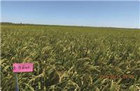今谷005(长粒优质) 扎赉特旗水稻种植销售