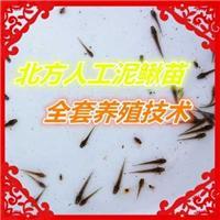 台湾泥鳅苗供应 台湾泥鳅苗哪家便宜 青县振华泥鳅养殖*合作社