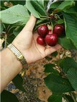 矮化樱桃苗、1公分粗矮化樱桃苗基地批发价格