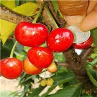 5公分1公分樱桃树苗批发价 在线免费咨询