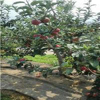 2公分m26矮化苹果树苗批发