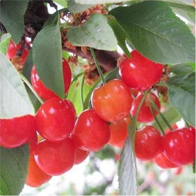 櫻桃苗價格 櫻桃樹幼樹安全越冬的技術措施