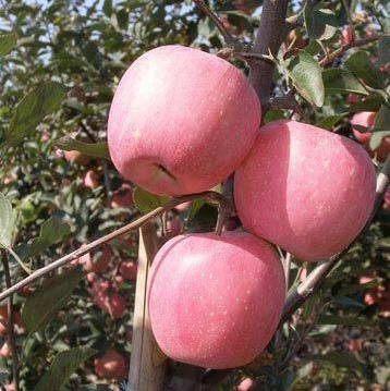 蘋果苗價格 高標準的紅肉蘋果園是如何澆水追肥的