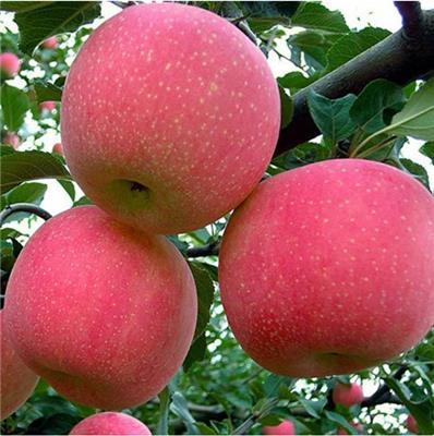 蘋果苗價格 紅肉蘋果苗的復壯養護技術