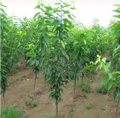 櫻桃苗價格 櫻桃苗對金龜子成蟲的防治