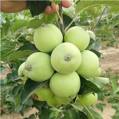 蘋果苗價格 紅肉蘋果要搞好花前復剪