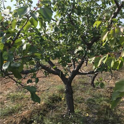 山西10公分杏树批发价格实惠