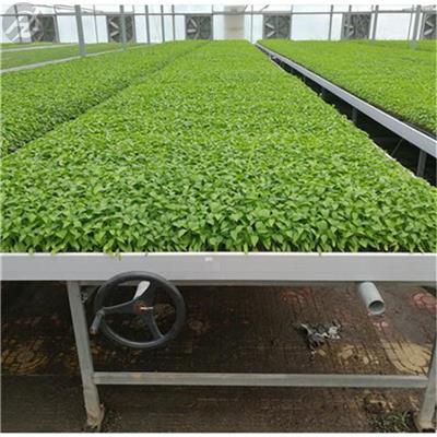 溫室花卉栽培防側翻潮汐苗床生產