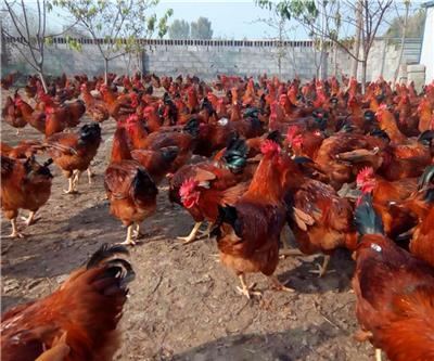 孵化三八零鸡苗 380红公鸡苗 红玉380公鸡