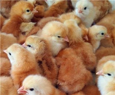 威海红玉鸡苗报价 红玉380 红玉鸡孵化厂